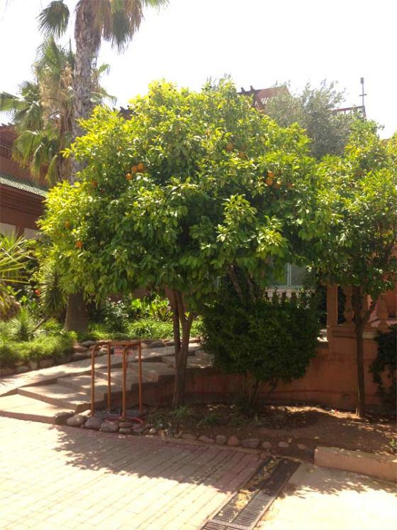 oranger-palmeraie